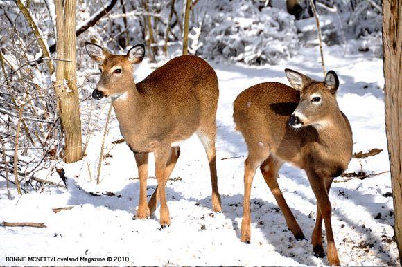 Bonnie-deer