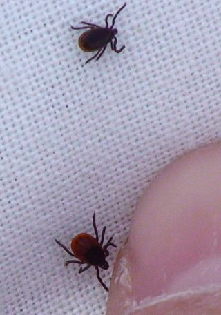 Female-blacklegged-tick