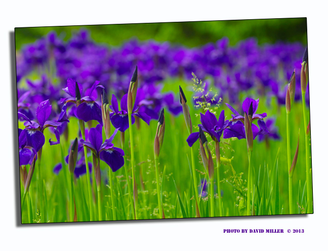 Camele-iris