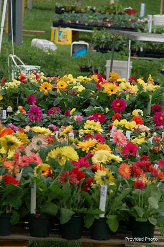 Gerberer-daisies