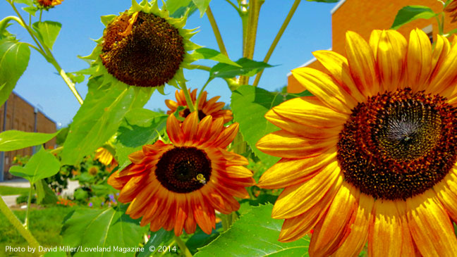 Sunflowers-at-lps