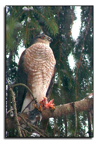 Hawk perched in a Colorado Blue Spruce